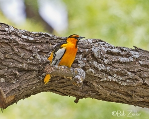 Bullock's Oriole on mesquite limb.