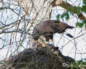 Common Blackhawk - eating lunch
