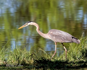"""On the Hunt"" Great Blue Heron"
