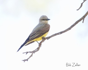Western Kingbird on mesquite branch.