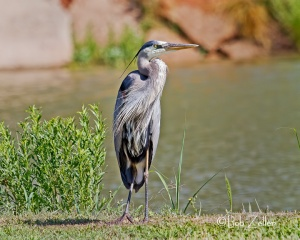 Great Blue Heron - Middle Concho Park
