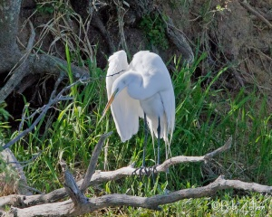 Great Egret - Spring Creek Park, San Angelo, Texas