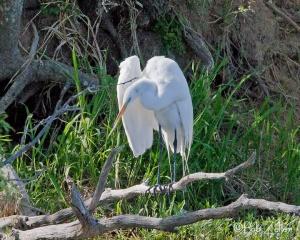Great Egret - Spring Creek Park, San Angelo, Texas