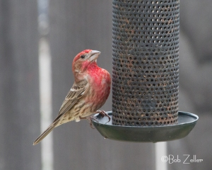 House Finch - photographed remotely using a Cam Ranger.