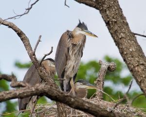 Heron chicks on nest.