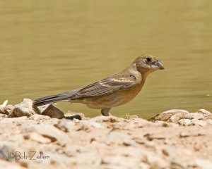 Blue Grosbeak - female - thinking about taking a bath.