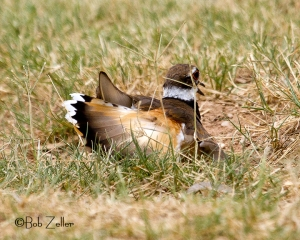 Adult Killdeer faking a broken wing, to draw us away from the chicks.