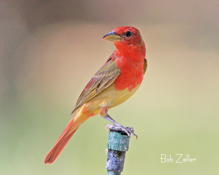 Juvenile summer tanager - photo#2