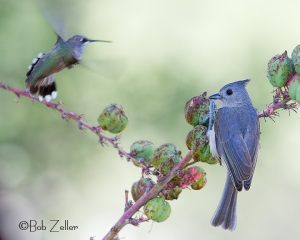 Black-crested Titmouse being hassled by a Black-throated Hummingbird.