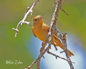 Summer Tanager - female