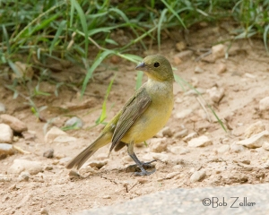 Painted Bunting - female