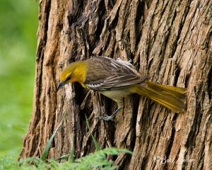 Bullock's Oriole - female, searching for grubs.