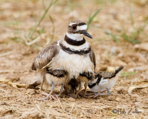 Adult Killdeer with her children.