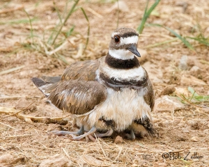 Adult Killdeer protecting her children.