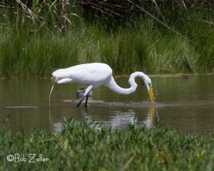 Great Egret doing a bit of feeding.