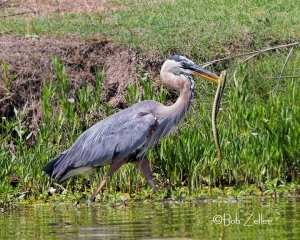Great Blue Heron wrestling with a snake.  It took several minutes for the heron to eventually win the fight and swallow it.