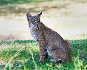 Bobcat photographed near Rio Grande Village Campground.