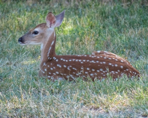 White-tailedd Deer - fawn