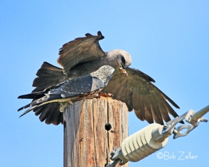 Adult Mississippi Kite feeding a juvenile.