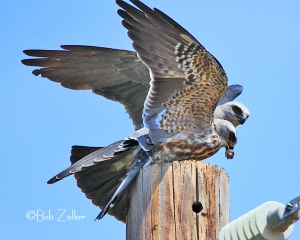 Adult Mississippi Kite feeding juvenile