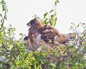 Swainson's Hawk on nest.