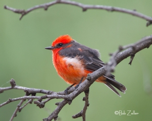Vermilion Flycatcher Spring Creek Park San Angelo, Texas