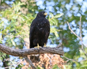 Common Blackhawk or Zone-tailed Hawk