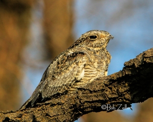 Common Nighthawk on mesquite brance at San Angelo State Park.