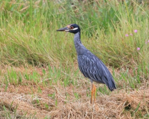 Yellow-crowned Nigh Heron at nearby K-Mart creek.