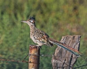 Greater Roadrunner - on fence post near Marathon, Texas.