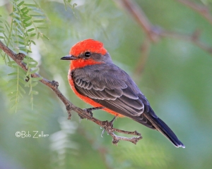 Vermilion Flycatcher - at Cottonwood Campground in Big Bend National Park