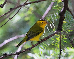 Wilson's Warbler Trying to hide in the brush at Cottonwood Campground.