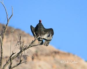 Turkey Vulture warming wings for morning flight.