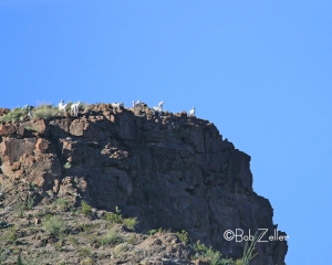 Goats high on a bluff on Mexican side of the river.