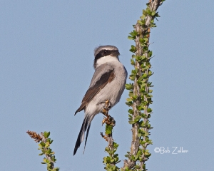 Loggerhead Shrike - on ocotillo plant, Big Bend National Park.