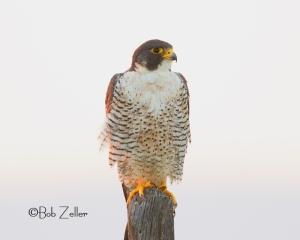 Red-tailed Hawk - enjoying an early morning sunrise.