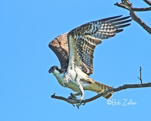 Osprey taking off.