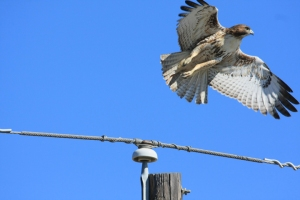 Red-tailed Hawk - taking off from utility pole.