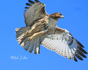 Juvenile Red-tailed Hawk in flight.