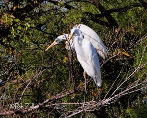 Two Great Egrets in a tree.