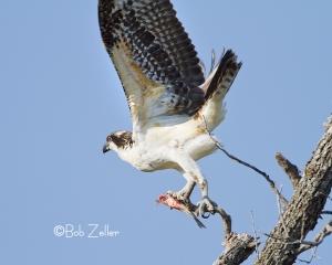 Osprey taking off.