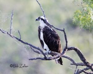 Osprey in dead mesquite.
