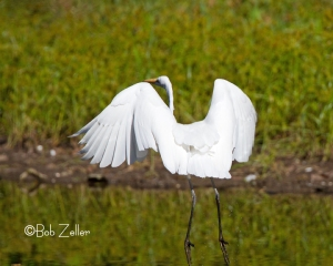Great Egret making a landing.