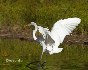 Great Egret landing.