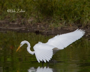 Great Egret fishing in the creek.