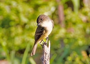 Eastern Phoebe in early morning light.