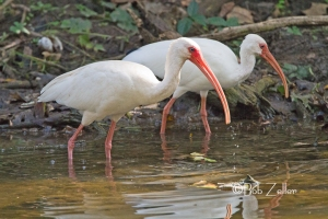White Ibises feeding in nearby creek.