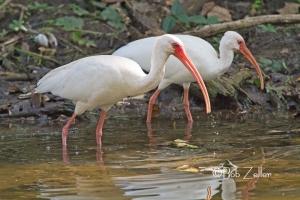 White Ibises feeding in nearby creek.