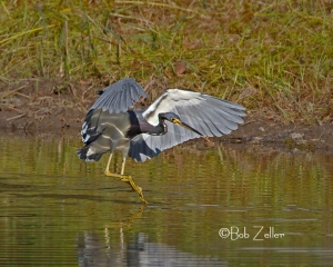 Tri-colored Heron showing off his beautiful plumage.