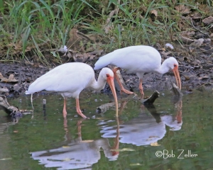White-faced Ibises - 400 miles away near Houston, Texas